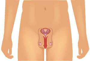 male-anatomy